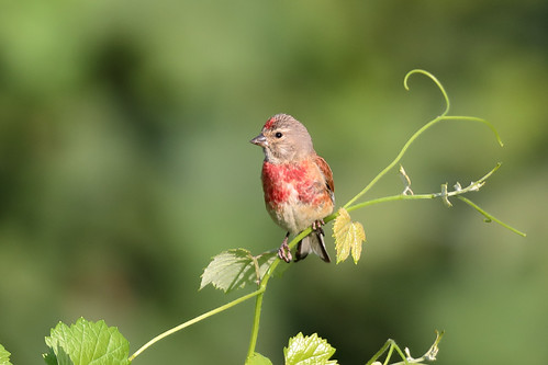 Common Linnet (Linaria cannabina), male