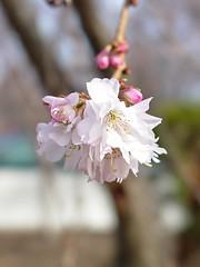 Flower bud on a tree [02]