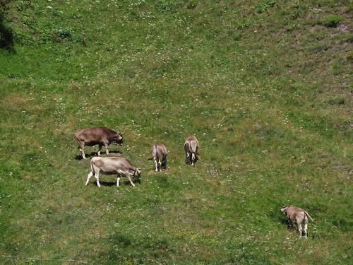 Vache-ment bon l'herbe ici !