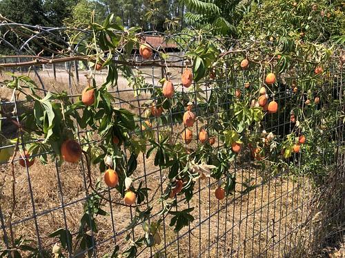 fruit de la passion / Passionsfrucht / маракуйя