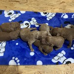 Presley's 8 boys and 4 girls ! I'm contacting the families on the waiting list for Presley's litter... If you're not already on the list, we won't have availability..