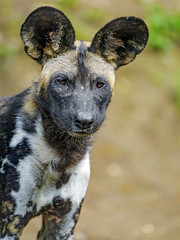 Portrait of a young wild dog