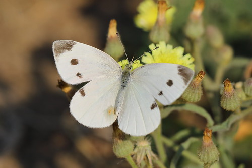 Small White (Artogeia rapae)