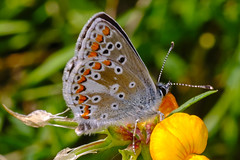 Brown Argus (Aricia agestis) aberration
