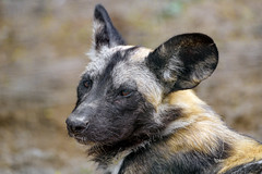 Close portrait of a young wild dog