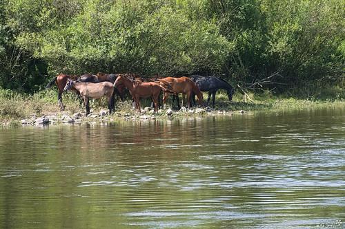 Pferde an der Elbe