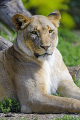 Lioness chilling
