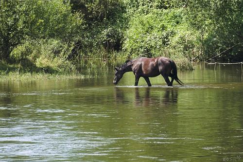 Pferd in der Elbe