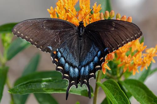 Dark Morph Eastern Tiger Swallowtail