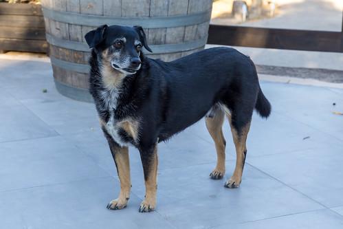 Ein Hund bei Villa Vegana, hundefreundlichem Hotel und Restaurant in Selva, Mallorca, Spanien