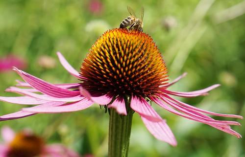 small bee on echinacea