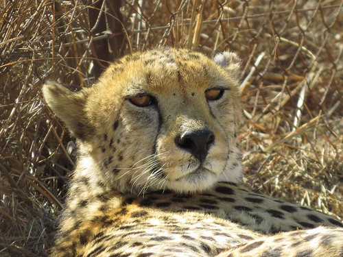 Getting lazy in the African Sun  ( Cheetah  /  Jagluiperd )