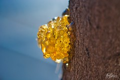 Droplets of Amber Sap