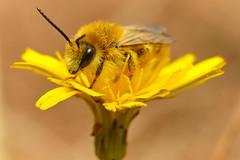 Pantaloon Bee (Dasypoda hirtipes)