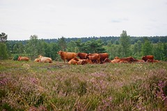 Cows in Heide - Wilseder Mountain Round | August 2, 2020 | Lower Saxony - Germany