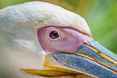 Pelican very close