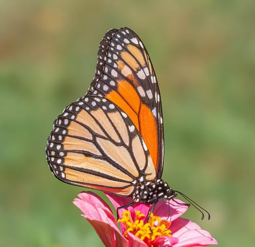 Lepidoptera Royalty