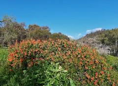 Adelaide. Mitcham. Orange wild succulents flowering in Anderson Park. Aloe striata hybrid.