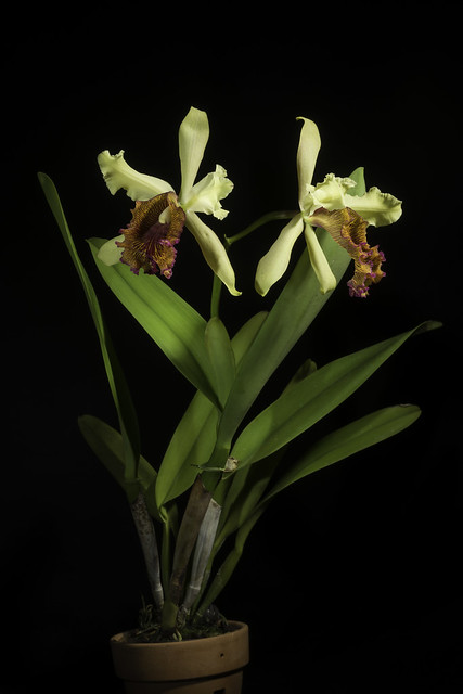 Photo:Cattleya dowiana var. aurea 'Maestranza' (Linden) B.S.Williams & T.Moore, Orchid Album 2: t. 84 (1883) By sunoochi