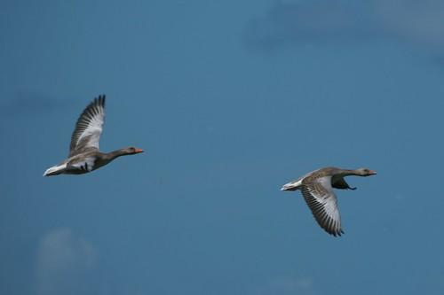 Grauwe ganzen bij vogelkijkpunt de Geul