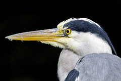 Profile portrait of a gray heron