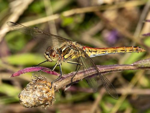 Steenrode heidelibel-Vagrant darter (sympetrum vulgatum)