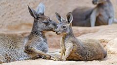 Two kangaroos together