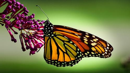 Monarch - EMA32522