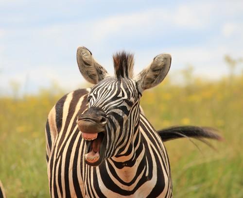 Hilarious!  ( Zebra )