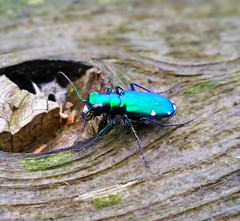 A six-spotted tiger beetle spotted at J. Edward Roush Lake