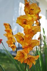 Gladiolus 3