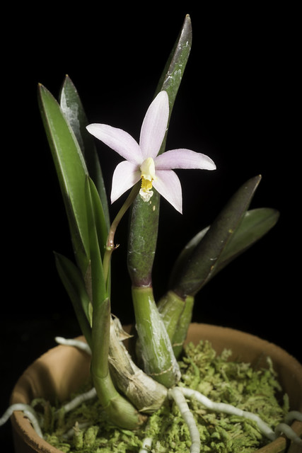 Photo:Cattleya reginae (Pabst) Van den Berg, Neodiversity 3: 11 (2008) By sunoochi