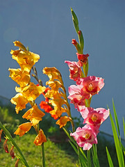 Leucht-Gladiolen (Gladiolus 4)