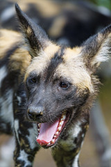 Wild dog with open mouth