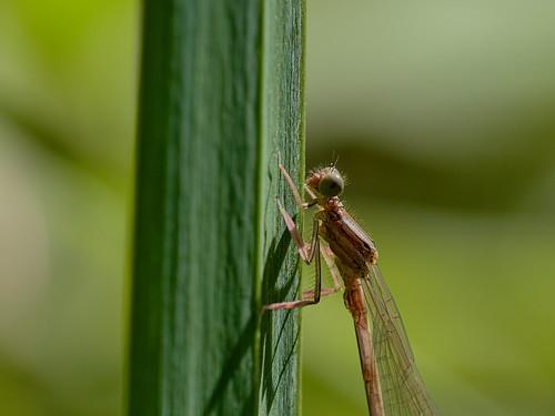 Dragon-fly - Libelle