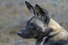 Close profile of a young wild dog