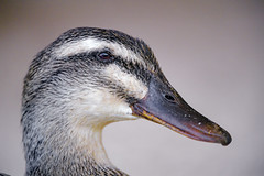Profile portrait of a female duck