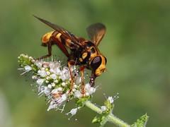 Milesia crabroniformis ♀, Le Collet-de-Dèze, Lozère, France