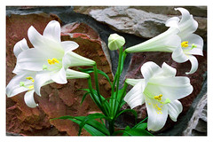 Lilies by a  Stone Wall