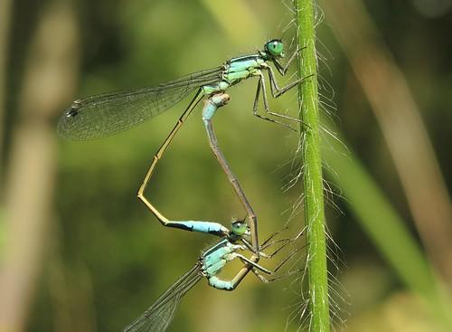 Blue-tailed Damselfly (Ischnura elegans) Pair