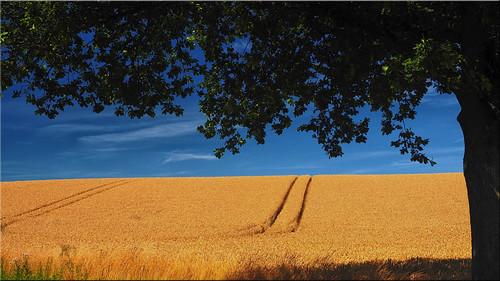 Grain field in Holstein