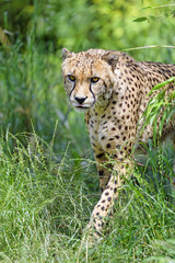 Cheetah walking in the grass