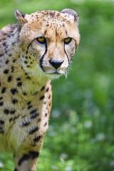 Portrait of a standing cheetah