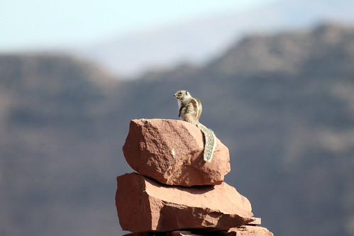 Barbary Ground Squirrel (Atlantoxerus getulus) Магрибская белка