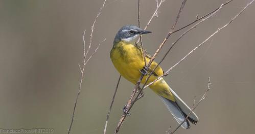 Alvéola-amarela (Motacilla flava) Yellow Wagtail  Portugal Salreu 2019-04-20