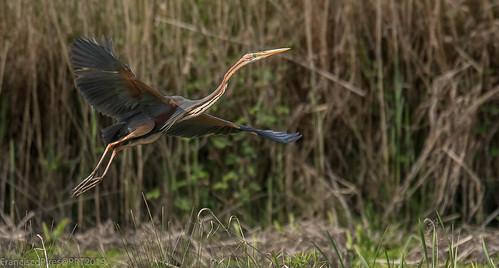 Garça-vermelha (Ardea purpurea) Purple Heron Portugal Salreu 2019-04-20