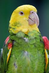 Proud yellow headed Amazon parrot