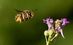 last image of the Wool Carder bee, just love these roly poly little guys.