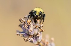 yellow faced bumble bee on lavender. ....I think one of the more striking bumbles and excellent pollinator in our yard.