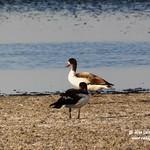 Aves en la laguna larga de Villacañas 6-8-2020